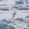 A white bird above the snow of Antarctica