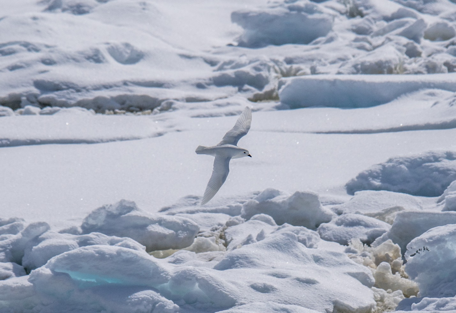 A white bird above the snow of Antarctica