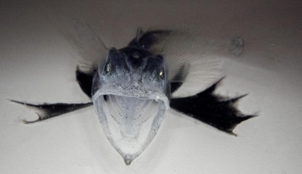 Icefish from Antarctica