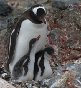 A Gentoo Penguin and 2 chicks from the Antarctic Peninsula