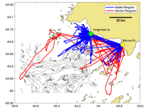 A map of Adelie and Gentoo penguin tracks off the coast of Palmer Station, Antarctica